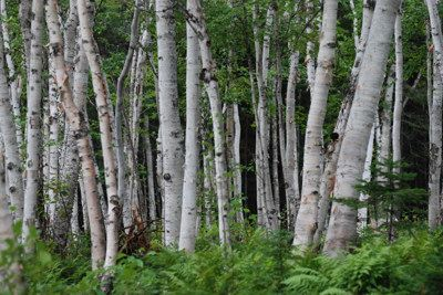 birch tree hindu personals Tree lore: birch by winter cymraes birch - beith- betula i am a stag of seven tines the white lady of the woods, also known as the white birch stands, slender and graceful, with long branches reaching toward the sky.