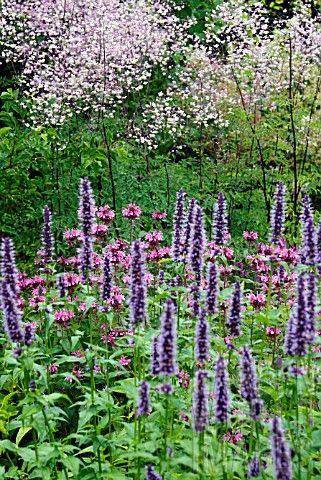 THALICTRUM_SPLENDIDE_AND_AGASTACHE_BLACK_ADDE Mooie fijne bloempjes, beienplant, zon half schaduw. Verschillende kleuren leverbaar.