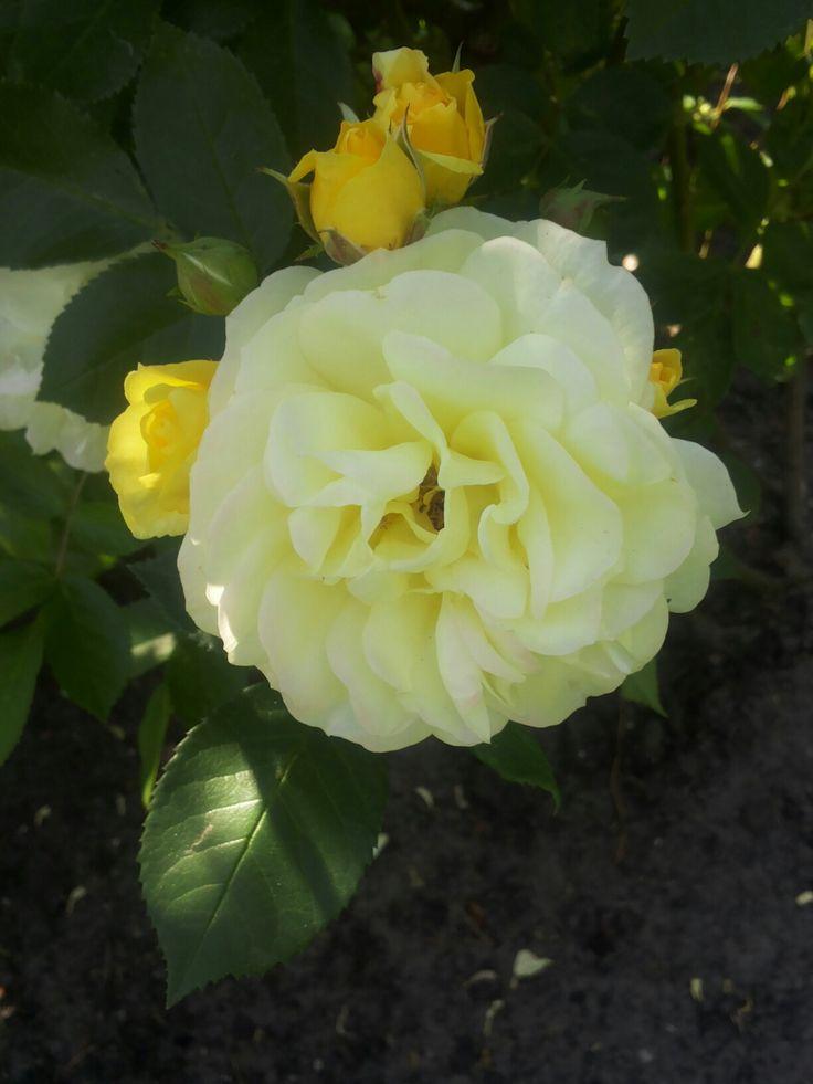 Rosa Happy Child, we hebben twee rozen aangeplant, in 2010 in de gele Rozentuin. Het is een David Austin roos uit 1993.  De doorbloeier rozen, hebben mooie gele knoppen verkleurend naar licht geel.