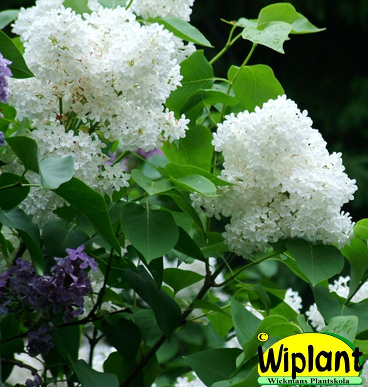 Syringa vulgaris 'Alba', gårdssyren. Vanlig vit syren. Höjd: 2-3 m.