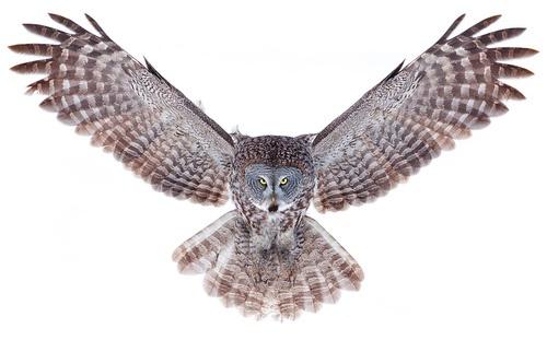 Owl Wings Spread Drawing | www.imgkid.com - The Image Kid ...