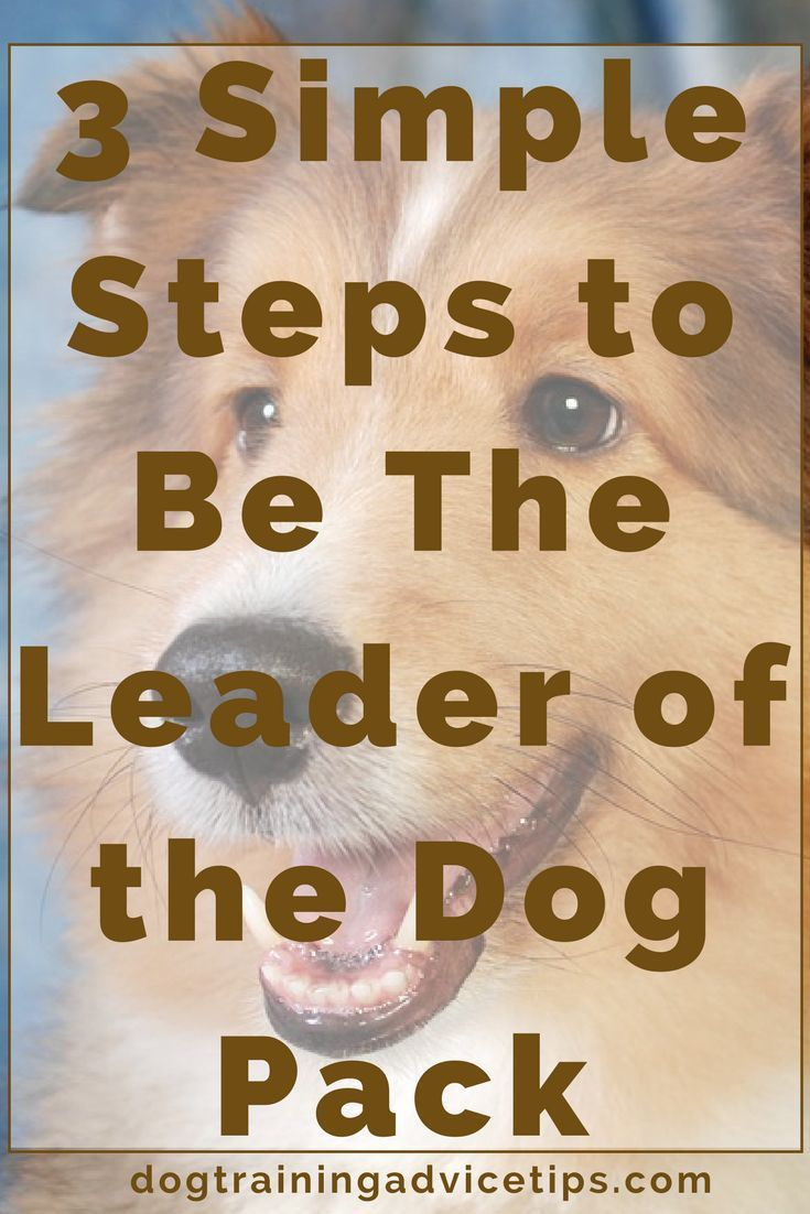 3 Simple Steps to Be The Leader of the Dog Pack | Dog Obedience Training | Dog Training Tips | Dog Training Commands | Dog Training Ideas | http://www.dogtrainingadvicetips.com/3-simple-steps-leader-dog-pack