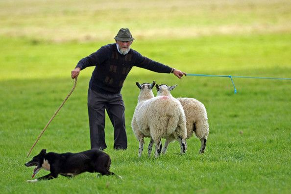 Dennis Birchall Shepherd Dennis Birchall of ireland and his dog round up sheep during the International Sheep Dog Trials on September 11, 2009 in Penrith, England. Top handlers from England, Ireland, Scotland and Wales competed in front of crowds, that included Princess Anne, for the 15 places in Sunday's Supreme Championship at Lowther Estate, Cumbria.