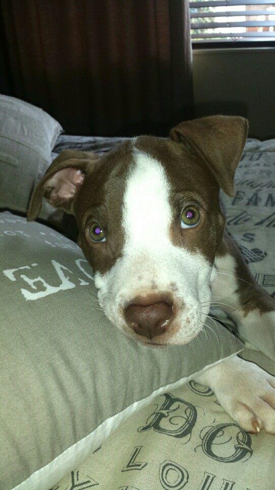 Dax the pitbull