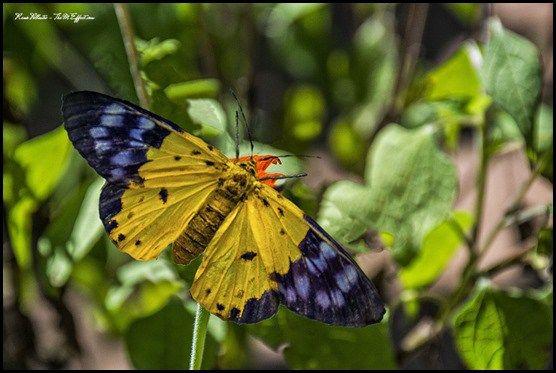 Butterflies of Cambodia - The Yellow Moth (Dysphania Sagana)