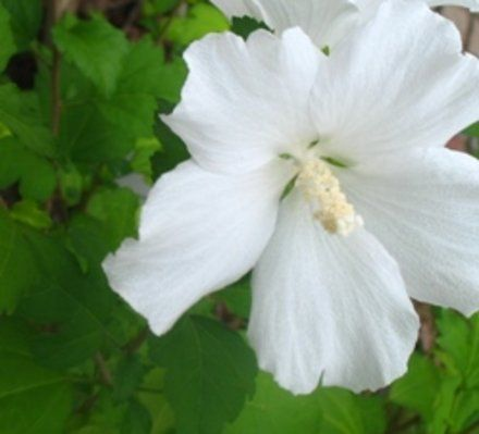 how to grow hibiscus from stem