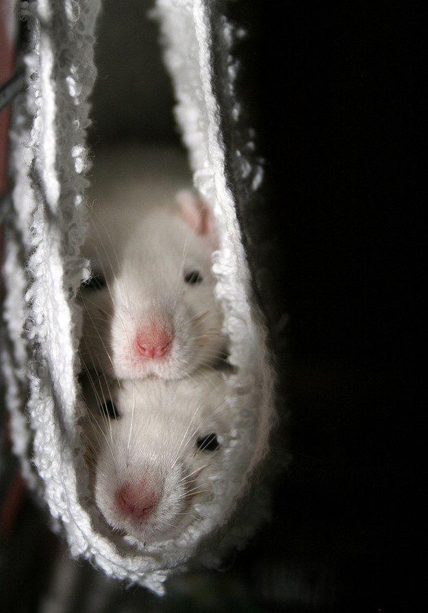A un grupo de ratas se le llama travesura, lo cual solo aumenta su ternura… | 18 razones por las cuales las ratas son las mascotas más subestimadas