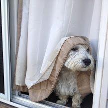 West Highland Terrier - Community - Google+
