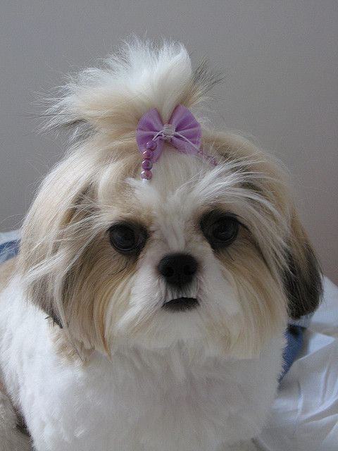 average life of a shih tzu 25 best shih tzu hairstyles images on pinterest 3685