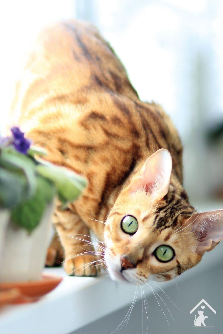 The beautiful Bengal cat breed! #welovecats #petcat #cutecat