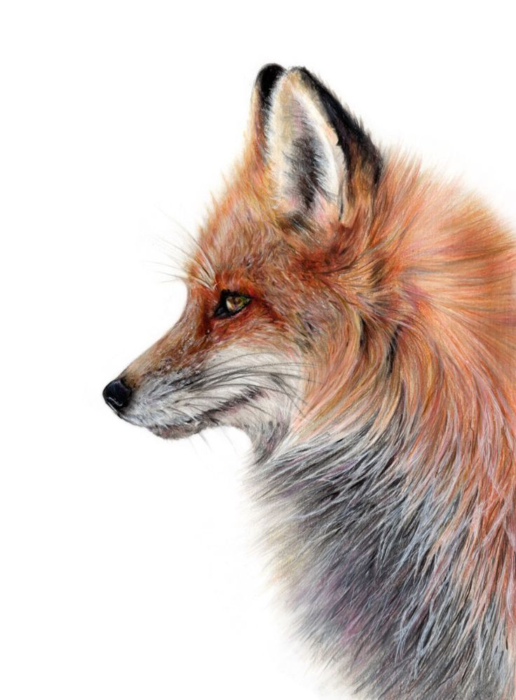 This is a photo of Nerdy Fox Pencil Drawing