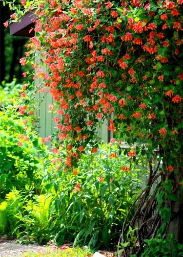 Honeysuckle vine | Photo by TDSwhite...oh to live in a warm climate to be able to have it look this beautiful!