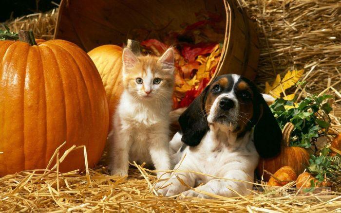 Щенок гончей и котенок около тыквы, прикольное фото смешная картинка