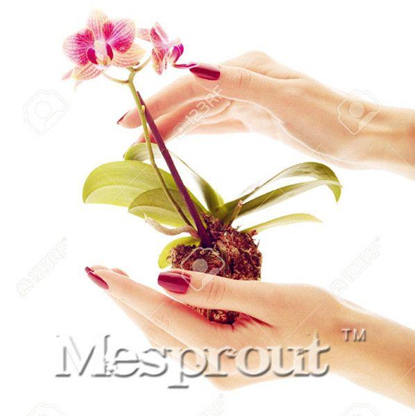 Rare Mini Orchid Bonsai Balcony Flower Mini  Orchid Seeds Beautiful Garden Orchid Seeds -100 PCS