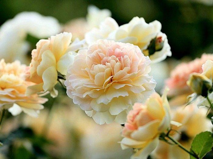 фотографии цветов -17- 11