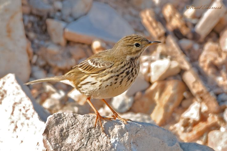 Meadow Pipit [set of 6 pics] | by Raed Shorrosh
