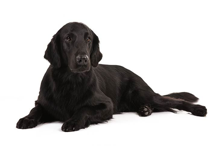 Flat Coated Retriever Dog Breed Information Akc Dog Breeds Flat