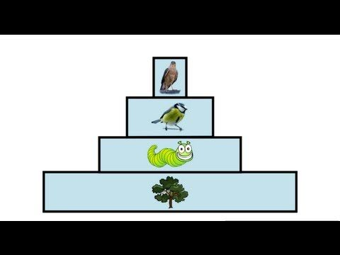 ▶ Ecological Pyramids   Ecology and Environment   the virtual school - YouTube