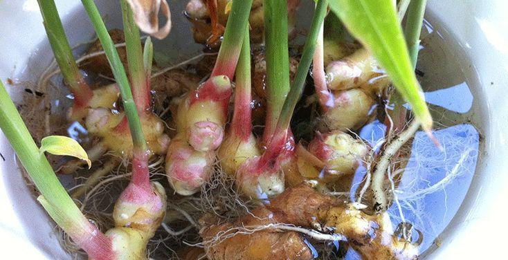 Zázvor se dá vypěstovat i z řízků. Snažte se však koupit u nás pěstovaný zázvor, který by měl být čistší než ten čínský. Pokud však seženete pouze čínský, nevadí. I kdyby obsahoval více pesticidů, po jeho rozmnožení jejich koncentrace výrazně klesne. Při pěstování postupujte následovně: 1) Vyberte si kořen, který je silný, bez vrásek a …