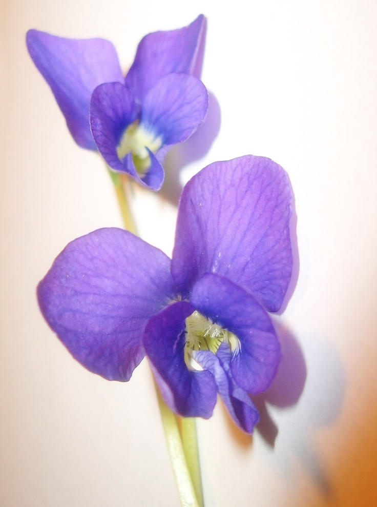 Violets tattoo - I want this in honor of my grandmother's birth month (Feb) flower