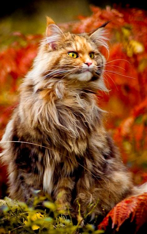 Norwegian forest cat in fall. Kitty is gorgeous.