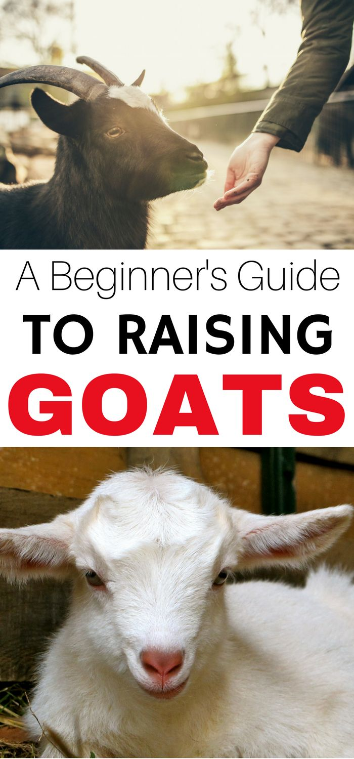 In the market to raise goats? A Beginner's Guide to Raising Goats will get you teach you everything you need to know- without being overwhelming!