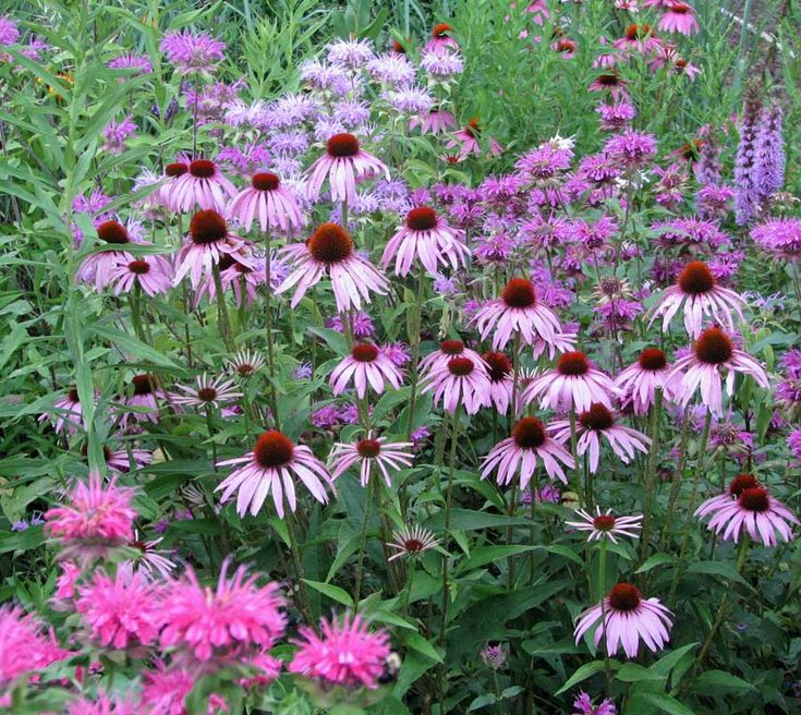 Montana Native Plants: 19 Best Garden Montana Images On Pinterest