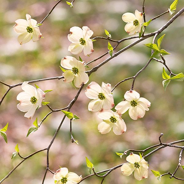 Flowering Yellow Dogwood Have One Of These In The Front Yard So Pretty Blommor Pinterest Yards And Flowers