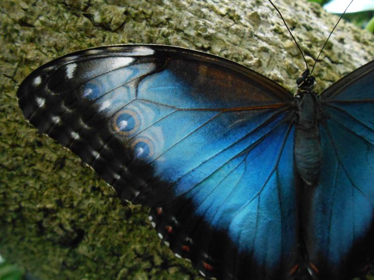 Blue Morpho Butterfly Exhibit - A Photo Gallery with information on how to attract them to your garden.