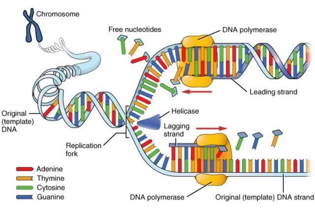 DNA replication is the process of copying the DNA within our cells. This process involves RNA and several enzymes, including DNA polymerase and primase.