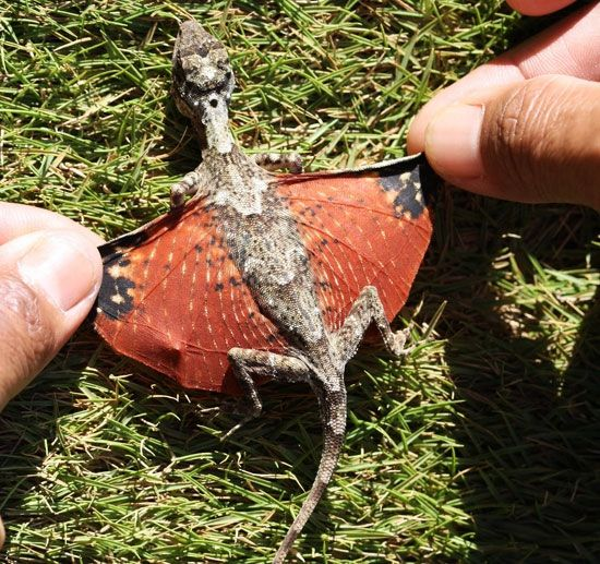 Draco volans - Tiny Flying Dragons (found in Indonesia)