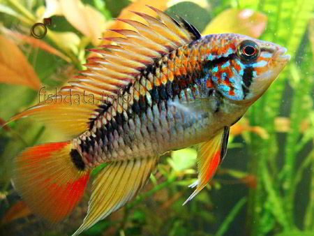apistogramma macmasteri dwarf cichlids neotropical cichlids aquarium ...