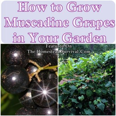 The Homestead Survival | How to Grow Muscadine Grapes in Your Garden | homesteading - http://thehomesteadsurvival.com