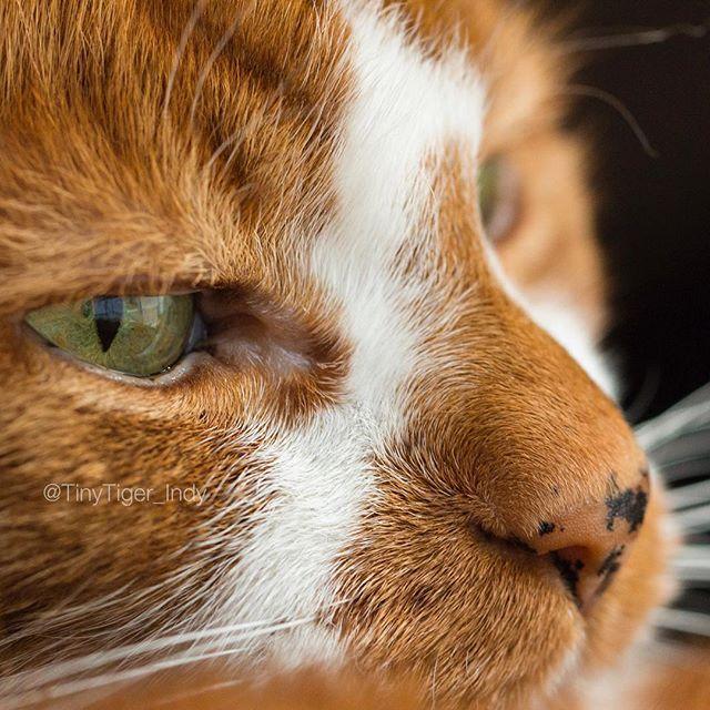 Happy Caturday Closeup Tinytiger Indy Cats Closeup Boopmynose Boop Orangecat Weeklyfluff Cats Beautiful Cats Orange Tabby Cats White Cats