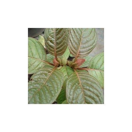 Mitragyna speciosa, semillas de kratom rojo en venta para sembrar #kratom #mitragyna