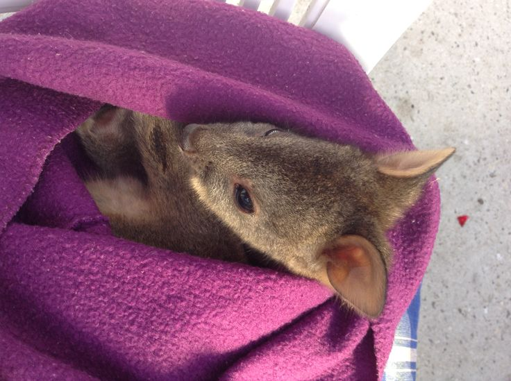 Jamie, an orphaned wallaby we are caring for until he is big enough to survive in the wild.