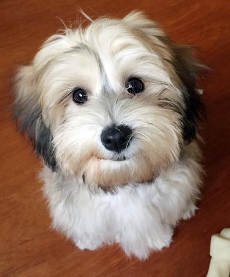 """Miso the Havanese--""""Umph, you ate all of that donut and didn't  offer me-- not even one bite."""""""
