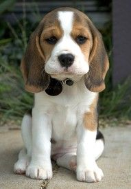 beagle puppy.