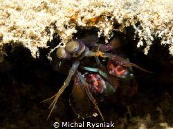 Mantis Shrimp by Michal Rysniak