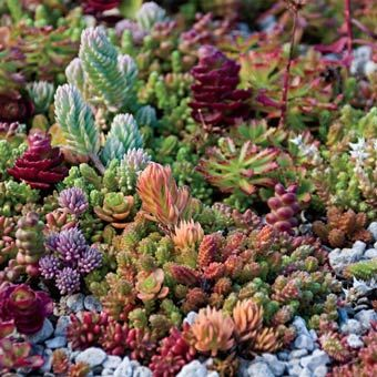 Rainbow Of Sedum We Have Specially Selected 6 Varieties That Complement Each Other In Color