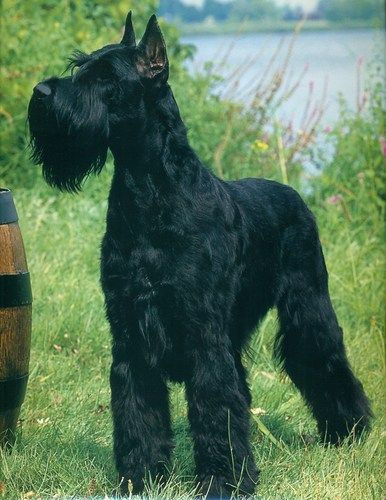The gorgeous Giant Schnauzer.