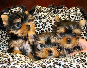 yorkie puppies   ...........click here to find out more     http://guy.googydog.com