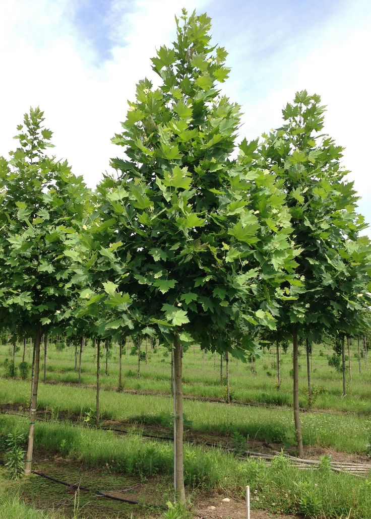 Exclamation london planetree shade trees pinterest for Garden trees london