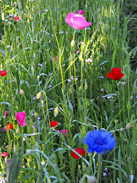 A wildflower garden with poppies and cornflowers.