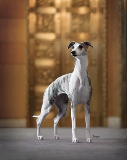 Ch. Starline's ChanelChanel Lrg Jpg 712 900, Starline Chanel, Favorite Whippets, Sweets Dogs, Dogs Show, Dogs Art, Westminster Dogs, Dogs Portraits, Beautiful Dogs