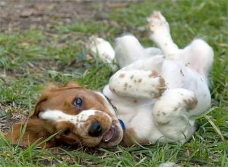 Jenny the Welsh Springer Spaniel