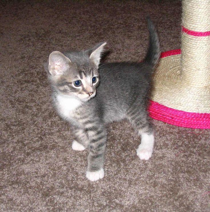 Grey And White Tabby Kitten Cat https//ift.tt/2HIPwmN