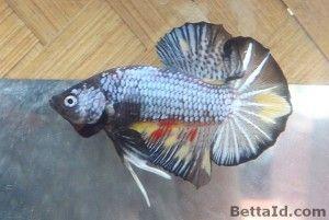 Ikan Cupang Plakat Dragon PK4, kondisi ikan sehat, body proporsional, dan sirip ikan balance. harga yang tertera di web adalah harga eceran, order grosir minimal 6 ikan mendapat potongan harga 20%.