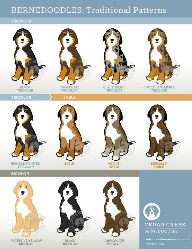 Puppy Pricing Cedar Creek Bernedoodles Puppies Bernedoodle