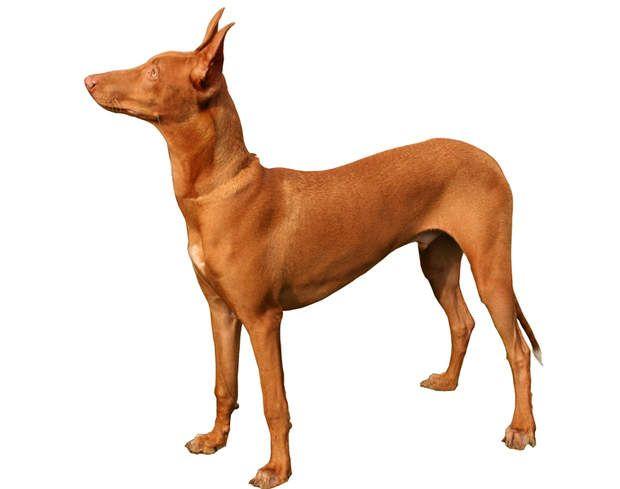 Le chien du pharaon : un chasseur aux alentours de 2.000 eurosCe chien de taille moyenne et de noble allure est une race réputée pour la chasse. Rare et peu connu, il s'affiche entre 1.700 et 2.300 euros.>>> Pour votre chien ou votre chat,testez notre comparateur d'assurances animaux
